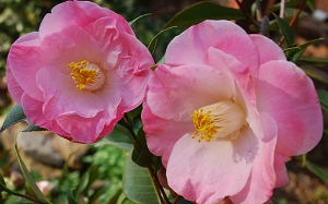April Remembered Camellia Japonica