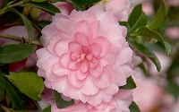 October Magic Pink Perplexion Camellia