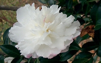 October Magic Snow Camellia