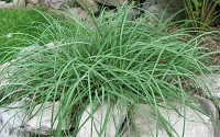 Blue Zinger Sedge - Carex flacca