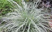 Evercolor Everest Carex