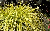Evercolor Everillo Carex