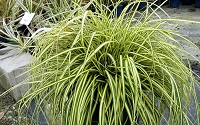 Evercolor Everoro Carex