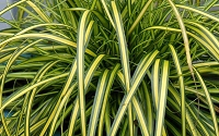 Evercolor Eversheen Carex