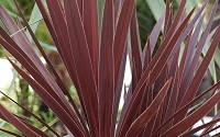 Red Star Cordyline