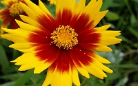 Coreopsis Uptick Yellow & Red