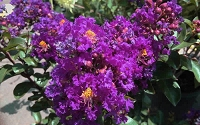 Purple Magic Crape Myrtle