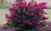 Velmas Royal Delight Crape Myrtle