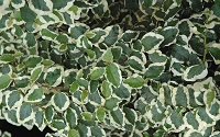 Variegated Creeping Fig - Ficus pumila Variegata