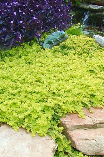 Goldilocks Creeping Jenny Lysimachia Nummularia: Buy Evergreen Periwinkle Vinca Minor For Sale Online From