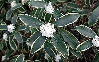 Variegated White Winter Daphne