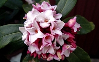 Greenleaf Pink Winter Daphne