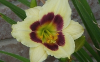 Little Gypsy Vagabond Daylily