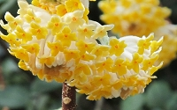 Edgeworthia chrysantha - Paper Bush