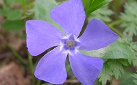 Evergreen Periwinkle - Vinca minor