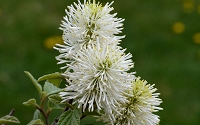 Mount Airy Fothergilla