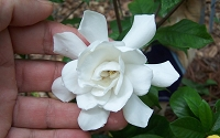 Fall In Love Gardenia