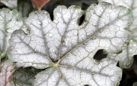 Cracked Ice Heucherella - Foamy Bells