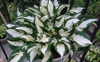Fire & Ice Hosta Lily