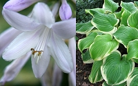 Fragrant Bouquet Hosta Lily