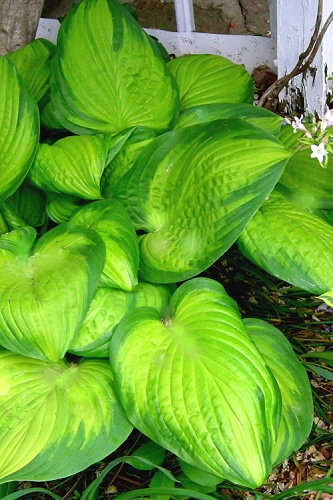 Stained Glass Hosta Lily