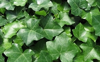 English Ivy - Hedera helix