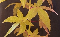 Bihou Yellow Bark Japanese Maple