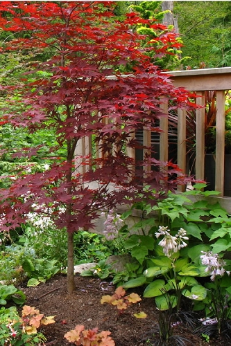 Fireglow Red Leaf Japanese Maple