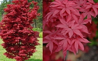 Twomblys Red Sentinel Japanese Maple