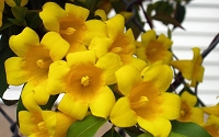 Yellow Carolina Jasmine - Jessamine