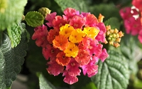 Little Lucky Hot Pink Lantana