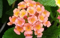 Little Lucky Peach Glow Lantana