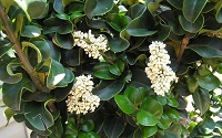 Curly Leaf Ligustrum - Coriaceum