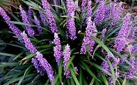 Royal Purple Liriope - Lilyturf