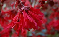 Ever Red Loropetalum - Chinese Fringeflower