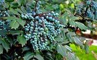 Leatherleaf Mahonia - Grapeberry Mahonia