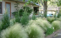Pony Tails Grass - Mexican Feather Grass