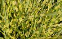 Gold Breeze Miscanthus - Zebra Grass