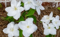 Natchez Mock Orange - Philadelphus coronarius