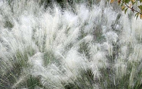 White Cloud Muhly Grass