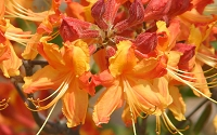 Florida Flame Native Azalea - Rhododendron