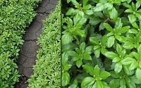 Green Carpet Pachysandra - Japanese Spurge