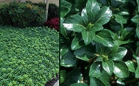 Green Sheen Pachysandra - Japanese Spurge