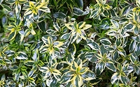 Miss Lemon Dwarf Abelia