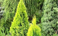 Highlights Arborvitae Thuja Janed Gold
