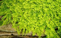 Goldilocks Creeping Jenny - Lysimachia nummularia 'Goldilocks'