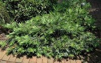 Creeping Japanese Plum Yew