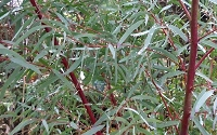Angus' Willow Leaf Eucalyptus Tree - Eucalyptus nicholii