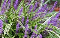 Variegated Liriope - Monkey Grass / Lilyturf