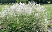 Little Kitten Dwarf Maiden Grass - Miscanthus